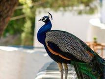Peacock ή Ρόδος Στοκ εικόνα με δικαίωμα ελεύθερης χρήσης