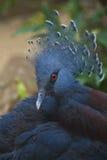 peacock αναστατωμένος Στοκ φωτογραφία με δικαίωμα ελεύθερης χρήσης