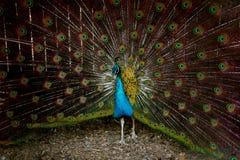 Peacock αναδρομικά φωτισμένο μέσω του φράκτη Στοκ Εικόνες
