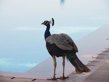 Peacock από τη λίμνη Στοκ φωτογραφία με δικαίωμα ελεύθερης χρήσης