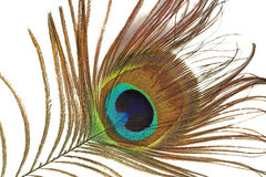 peacock γλώσσα του s Στοκ φωτογραφίες με δικαίωμα ελεύθερης χρήσης