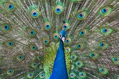 Peacock επίδειξη-μακριά Στοκ εικόνες με δικαίωμα ελεύθερης χρήσης