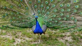 Peacock& x27 επίδειξη του s του φτερώματος Στοκ φωτογραφίες με δικαίωμα ελεύθερης χρήσης