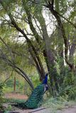 Peacock κάτω από ένα δέντρο Στοκ Εικόνες