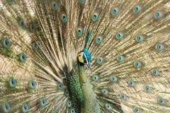 Peacock και διάδοση ουρά-φτερών Στοκ Φωτογραφία