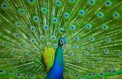 Peacock Κλείστε επάνω του peacock που παρουσιάζει όμορφα φτερά του αρσενικό Στοκ Εικόνες