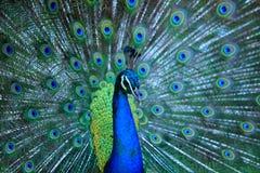 Peacock Κλείστε επάνω του peacock που παρουσιάζει όμορφα φτερά του αρσενικό Στοκ εικόνα με δικαίωμα ελεύθερης χρήσης