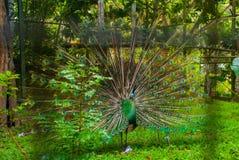 Peacock Κλείστε επάνω του peacock που παρουσιάζει όμορφα φτερά του όμορφο peacock Αρσενικό peacock που επιδεικνύει τα φτερά ουρών Στοκ Εικόνες