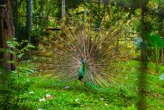 Peacock Κλείστε επάνω του peacock που παρουσιάζει όμορφα φτερά του όμορφο peacock Αρσενικό peacock που επιδεικνύει τα φτερά ουρών Στοκ Εικόνα