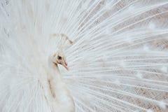 peacock λευκό Στοκ Εικόνα