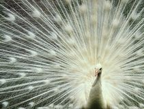 peacock λευκό Στοκ φωτογραφίες με δικαίωμα ελεύθερης χρήσης