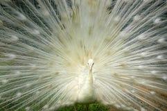 peacock λευκό Στοκ εικόνα με δικαίωμα ελεύθερης χρήσης