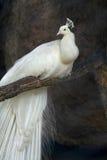 peacock λευκό Στοκ Φωτογραφίες