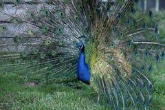Peacock με τα αυξημένα φτερά Στοκ Φωτογραφία