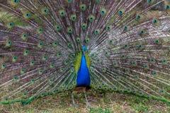 Peacock με την ανοικτή ουρά, Ισραήλ Στοκ Εικόνες