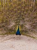 Peacock με την επέκταση φτερών στοκ φωτογραφία