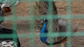 Peacock με το καταπληκτικό ζωηρόχρωμο φτέρωμα Ζωηρόχρωμος όμορφος ζωολογικός κήπος πουλιών σε επαφή κίνηση αργή απόθεμα βίντεο