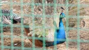 Peacock με το καταπληκτικό ζωηρόχρωμο φτέρωμα Ζωηρόχρωμος όμορφος ζωολογικός κήπος πουλιών σε επαφή 4K απόθεμα βίντεο