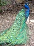 Peacock με το φτερό ουρών ουρών Στοκ Εικόνες