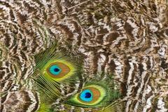 Peacock με το όμορφο παλτό το καλοκαίρι Στοκ Φωτογραφίες
