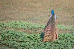 Peacock μια ηλιόλουστη ημέρα Στοκ εικόνες με δικαίωμα ελεύθερης χρήσης