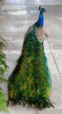 peacock περπατώντας Στοκ Εικόνα
