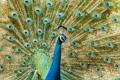 Peacock Πορτρέτο του αρσενικού peacock που επιδεικνύει τα φτερά ουρών του Στοκ Εικόνες