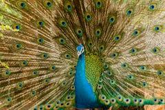 Peacock Πορτρέτο του αρσενικού peacock που επιδεικνύει τα φτερά ουρών του Στοκ Εικόνα