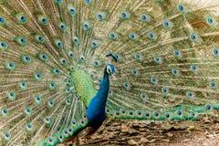 Peacock Πορτρέτο του αρσενικού peacock που επιδεικνύει τα φτερά ουρών του Στοκ Φωτογραφία