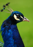 peacock πορτρέτο Στοκ φωτογραφίες με δικαίωμα ελεύθερης χρήσης