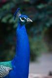 peacock πορτρέτο Στοκ Εικόνες