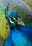 peacock πορτρέτο Στοκ εικόνες με δικαίωμα ελεύθερης χρήσης
