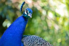 peacock πορτρέτο Στοκ Φωτογραφίες