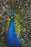 peacock πορτρέτο Στοκ Εικόνα