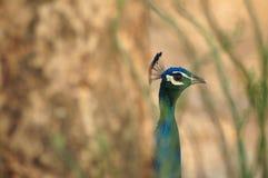 Peacock, πουλί, peacocks στην αγροτική Ταϊλάνδη στοκ εικόνες