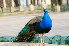 Peacock που εξετάζει τον παρατηρητή Στοκ Εικόνες