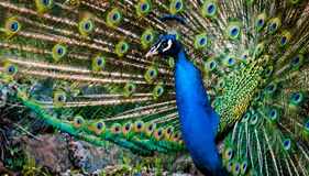 Peacock που διαδίδει τα χρωματισμένα φτερά του στο πάρκο του arenzano Γένοβα Στοκ Εικόνες