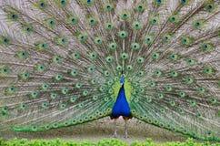 Peacock που διαδίδει την ουρά του Στοκ εικόνα με δικαίωμα ελεύθερης χρήσης
