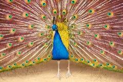 Peacock που καταδεικνύει μια κινηματογράφηση σε πρώτο πλάνο ουρών διάδοσης Στοκ Εικόνες