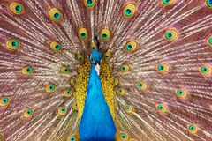 Peacock που καταδεικνύει μια κινηματογράφηση σε πρώτο πλάνο ουρών διάδοσης Στοκ φωτογραφίες με δικαίωμα ελεύθερης χρήσης