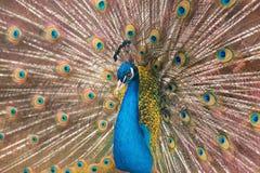 Peacock που καταδεικνύει μια ουρά διάδοσης Στοκ φωτογραφία με δικαίωμα ελεύθερης χρήσης