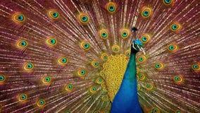 Peacock που κινείται γύρω