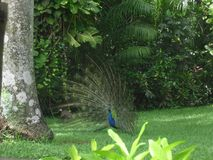 Peacock που παίρνει ένα σπάσιμο στο ζωολογικό κήπο στοκ εικόνες