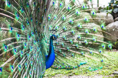 Peacock που παρουσιάζει ουρά του Στοκ Φωτογραφίες