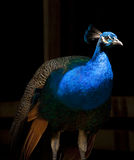 Peacock που τονίζεται Στοκ Φωτογραφίες