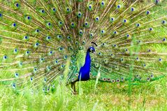 Peacock που χορεύει με το φτερό επάνω Στοκ εικόνες με δικαίωμα ελεύθερης χρήσης