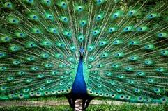 peacock πρίγκηπας Στοκ φωτογραφίες με δικαίωμα ελεύθερης χρήσης