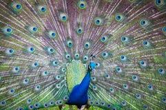 Peacock δράση ουρά-φτερών Στοκ Εικόνα