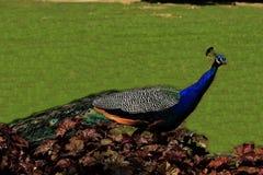 Peacock σε έναν ζωολογικό κήπο στην Πράγα, Δημοκρατία της Τσεχίας Στοκ φωτογραφίες με δικαίωμα ελεύθερης χρήσης