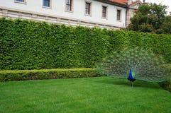 Peacock σε έναν κήπο της Πράγας, Δημοκρατία της Τσεχίας Στοκ Φωτογραφία